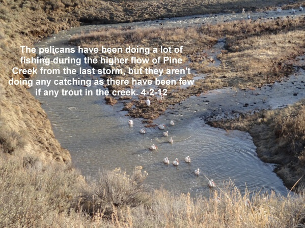 Lots of fishing but little catching for the pelicans on Pine Creek 4-2-12