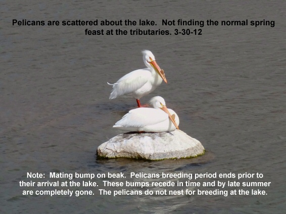Pelicans are scattered_ spring feast not what they expected 3-30-12