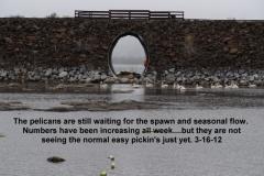 Pelicans increasing in numbers all week 3-16-12