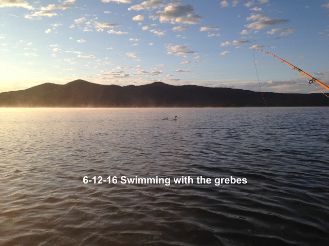 Swimming with the grebes 6-12-16