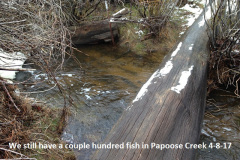 Still have several hundred fish in Papoose Creek 4-8-17