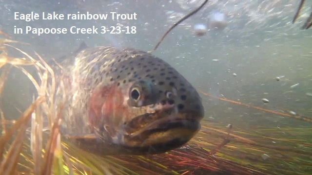 3-23-18 Eagle Lake rainbow Trout in Papoose Creek