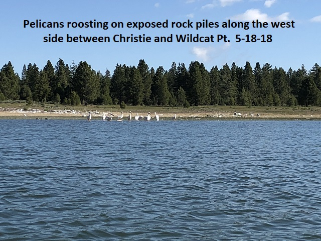 5-18-18 Pelicans roosting on exposed rock piles