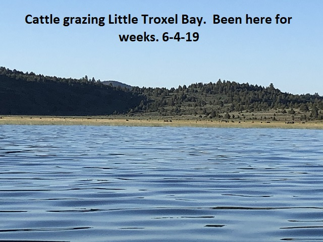 6-4-19-Cattle-grazing-in-Little-Troxel-Bay