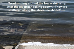 4-16-21-trout-milling-around-the-shoreline